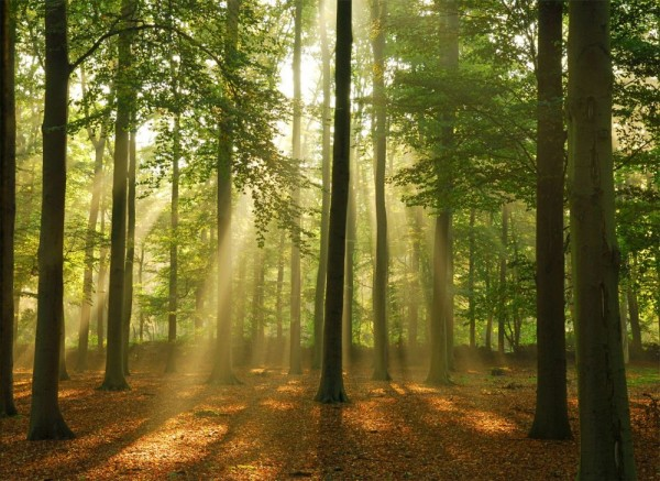papermoon-vlies-fototapete-digitaldruck-350-x-260-cm-forest-in-the-morning