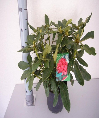 rhododendron-5-l-container
